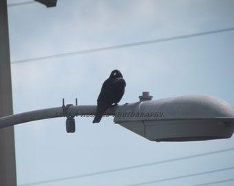 Halloween Crow Watching You Photograph