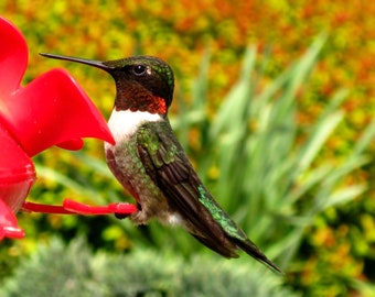 8X10 Red Hummingbird Photo, Macro Photography, Bird print, Bird Photography, Hummingbird Art, Hummingbird Print, Nature Wall Art, Home Decor