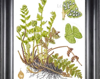 ANTIQUE FERN Lindman 8X10 Botanical Art Print 4 Antique Beautiful Green Ferns Forest Nature Natural Science to Frame Wall Decor