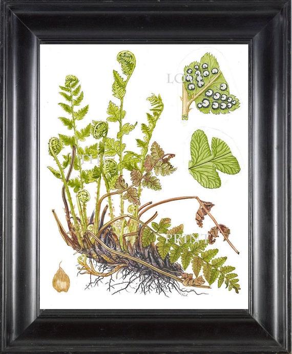 ANTIQUE FERN Lindman 8X10 Botanical Art Print 4 Antique Beautiful Green Ferns Forest Nature Natural Science to Frame Wall Decor