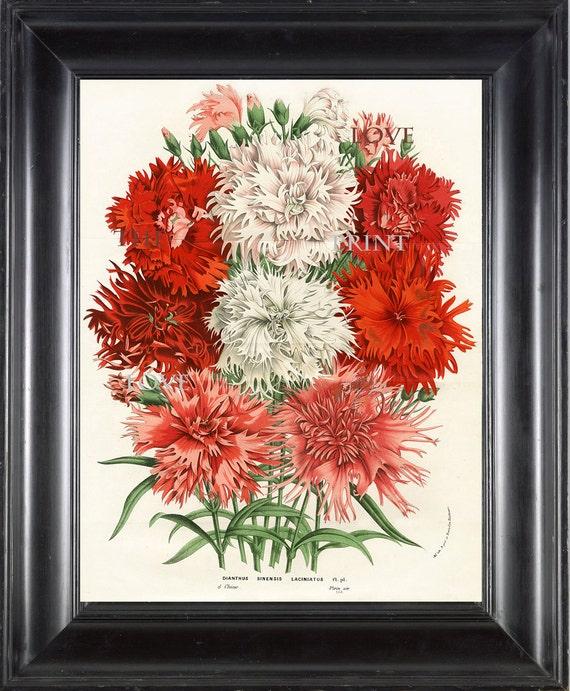 BOTANICAL PRINT HOUTTE  Botanical Art Print 2 Beautiful Carnations in Pink White Red  Dianthus Sinensis Laciniatus Pink Flowers Garden