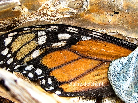 """Monarch Butterly Wing in Oyster Shell on Beach, Secret Monarch, HDR Photograph/Original Wall Art/Decor, 11""""x14"""""""