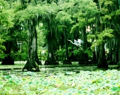 Crane and the Lily Pads Caddo Lake in Louisiana