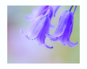 Bluebells Flower - Nature Photography - 10 x 8 inch print