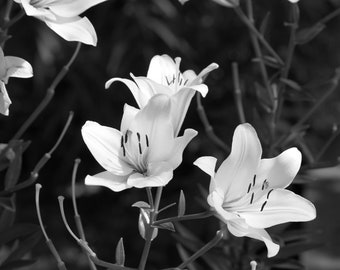 Black and White Day Lilies