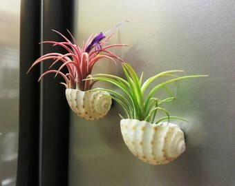 Colorful Mexican Air Plants In Sea Shell Terrariums with MAGNETS for the Kitchen Fridge or as Office Plants
