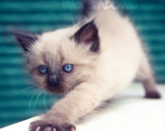 Blue eyes Little Kitten Fine art photography Fluffy white kitten Kawaii Mursery decor Color adorable little animal Wall print For kids room