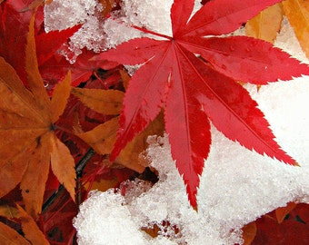 Japanese Maple Leaves in SNOW in Pennsylvania- BLANK 5 X 7 Winter NOTECARD frameable Art Photo with Free Origami Crane -  Icy Scene