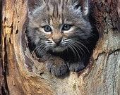 Bobcat Kitten, 8x10 Animal Photography, Wildlife Photography, Nature Photograph, Cute Cat Print, Nursery Décor, Kids Wall Art, Woodland