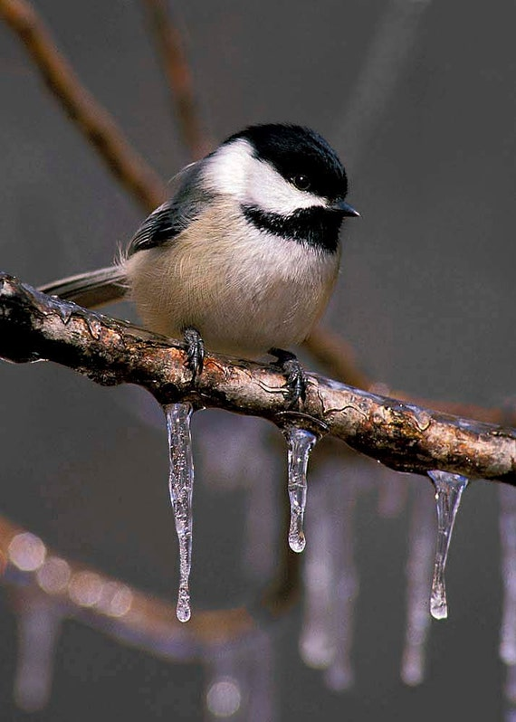 Chickadee and Icicles 5x7 Matted Bird Photograph, Wildlife Nature Photo, Wild Animal Print, Nursery Décor, Kids Wall Art