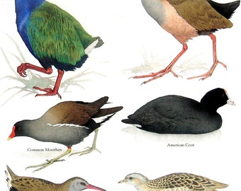 Bird Print - Takahe, Giant Wood Rail, American Coot, Corncrake - 1984 Vintage Birds Book Page