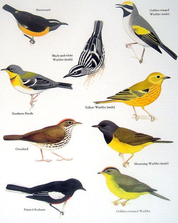 Articles similaires oiseaux sucrier ventre jaune for Oiseau ventre jaune