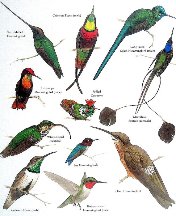 items similar to hummingbirds crimson topaz frilled coquette bee