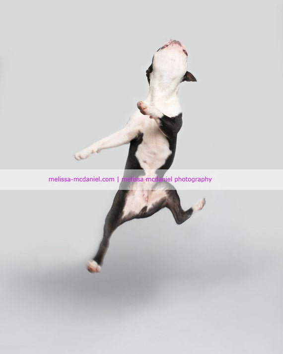 JOY  (Jumping Boston Terrier - Happy Dog)