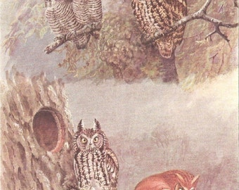 Vintage Bird Print, Book Plate, Owls, Screech Owls, Kennicotts, Antique Bird Illustration, 1930s