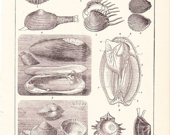 1906 Sea Shell Print - Vintage Antique Home Decor Art Illustration for Framing 100 Years Old