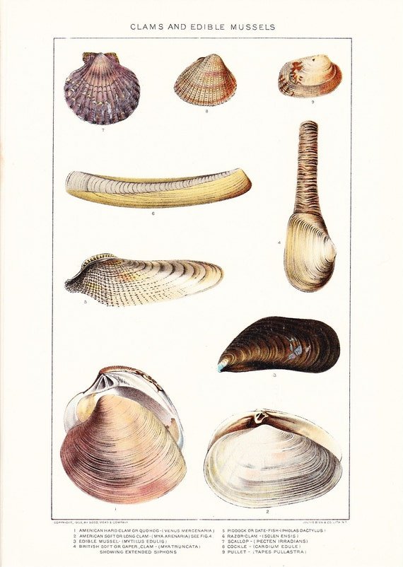 1903 Animal Print - Clams and Mussels - Vintage Antique Home Decor Book Plate Art Illustration for Framing 100 Years Old