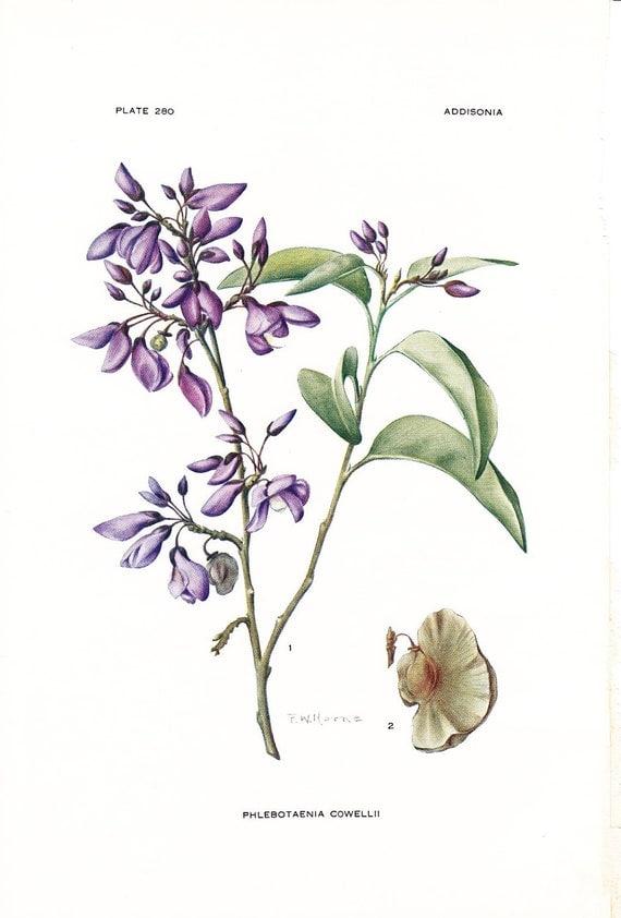 1923 Botany Print - Phlebotaenia Cowellii - Vintage Antique Flower Art Illustration Book Plate for Framing