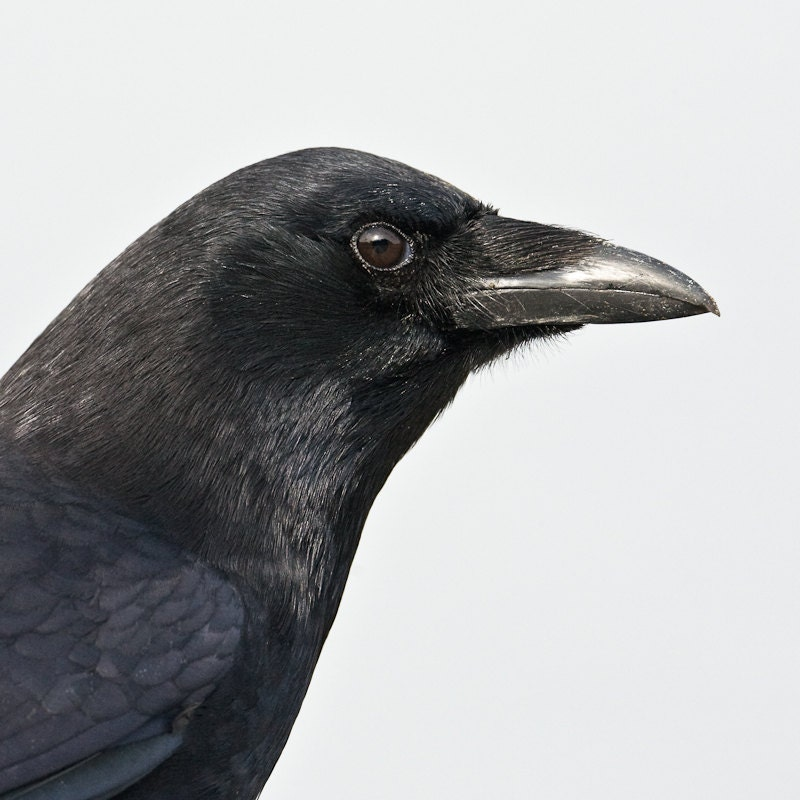 face of a crow, by wild grace