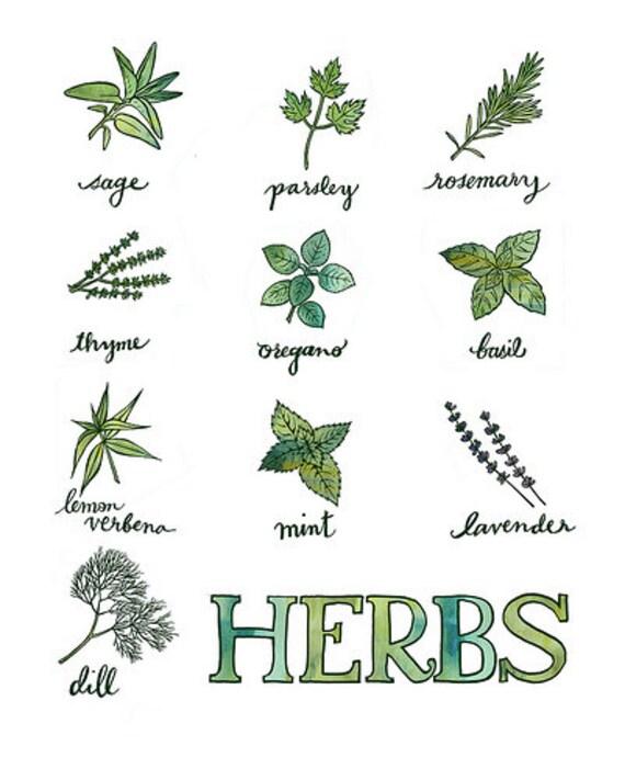 herbs - kitchen print - original illustration - giclee print