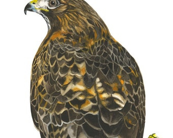 "Limited Edition GICLEE Print /  ""San Simeon Eyes"" /  Watercolor Painting of a Redtail Hawk"