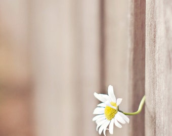 peeking daisy through the fence-flower photography - flower photo- cottage garden (5 x 7 Original fine art photography prints) FREE Shipping