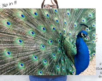 Peacock Large size wall art  - 24 x 36 nature fine art photograph of blue and green bird