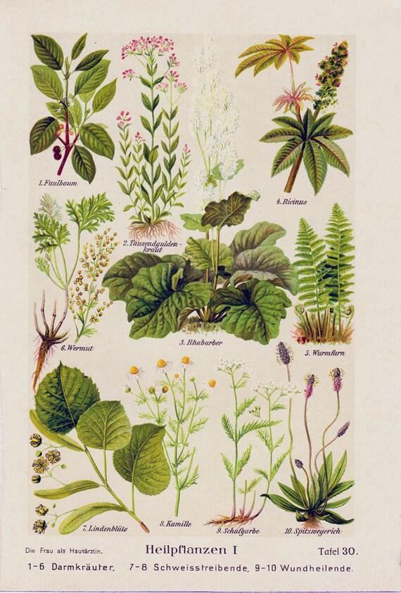 Piante Medicinale : Stampare antiche piante medicinali felce camomilla