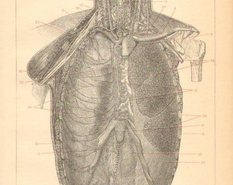 1895 Original Antique Engraving of the Chest Organs, Thoracic Cavity