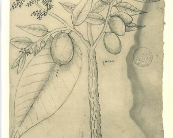 Vintage Botanical Print Sketch Drawing Caia Anacardiaceae Maranhao Brazil