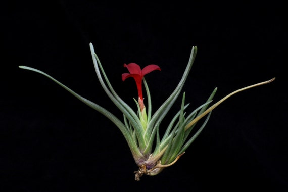 Tillandsia albertiana-Beautiful Red Flowers When Blooming-Airplant-Small Clusters