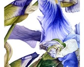 Iris - fine art - Large archival botanical print, 16 x11 or 13 x 19inches, watercolor print, botanical art