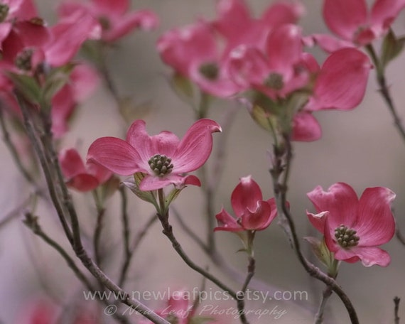 Nature Photography, Pink Dogwood Blossoms, soft pastels, nursery art, gifts for mom, home decor, wall art, 8x10 print