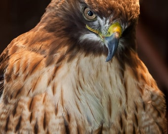 Red-Tailed Hawk. Hawks. Raptors. Color Print. Wildlife and Nature Photography. Professional Bird of Prey Photography by Liz Bergman