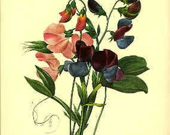 Redoute Botanical Print -  - Sweet Pea - 70