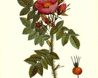 Redoute Botanical Rose Print  2