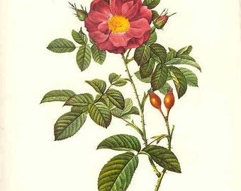 Redoute Botanical Rose Print  5