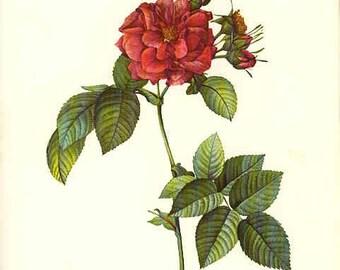 Redoute Botanical Rose Print  6