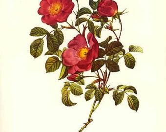 Redoute Botanical Rose Print  16
