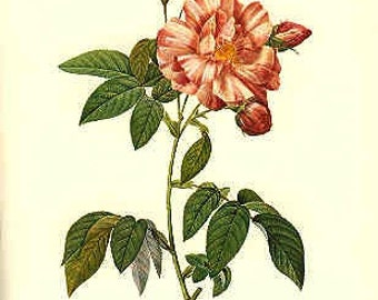 Redoute Botanical Rose Print  52