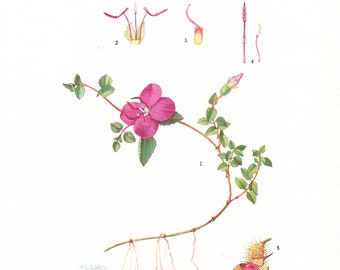 1923 Botany Print - Schizocentron Elegans - Creeping Princess Flower - Vintage Antique Flower Art Illustration Book Plate for Framing