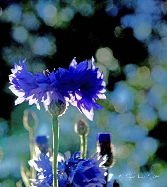 Photography Wall Art Blue Bachelor Buttons - Cornflower of Blue Sunshine - Bokeh - Fine Art Home Decor Photo  8x8 10x10 12x12