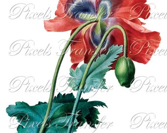 POPPY Instant Download Large Digital Image, red poppy flower clipart digital download Redoute 123