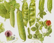 Garden Peas & Lentils Flowering Legumes Food Chart Vegetable Botanical Lithograph Illustration For Your Vintage Kitchen 43