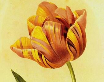 Rembrandt Tulip Vintage Illustration Wild Flower Lithograph Redoute Botanical Print To Frame 6