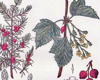 Juniper Currant Hoarhound Colt's Foot 1907 Healing Medicinal Plant Vintage Botanical Lithograph To Frame VIII