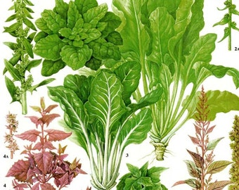 Spinach Swiss Chard Salad Plant Flowers Food Chart Vegetable Botanical Lithograph Illustration For Your Vintage Kitchen 161