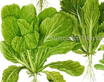 Pak Choi Wong Bok Asian Soup Greens Plant Flowers Food Chart Vegetable Botanical Lithograph Illustration For Your Vintage Kitchen 155