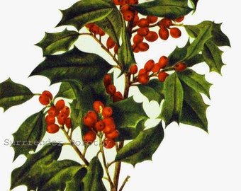 American Holly Berry Yaupon Flowers Vintage 1950s Botanical Lithograph Art  Print To Frame