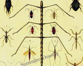 Walking Stick Praying Mantis Beetle Insects Seba Entomology Natural History Bug Lithograph Chart Poster Print